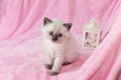 Gatinho com a lanterna no fundo cor-de-rosa Foto de Stock Royalty Free