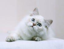 Gatinho com olhos azuis. Fotos de Stock Royalty Free