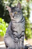 Gatinho considerável do gato malhado fotos de stock royalty free