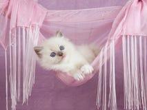 Gatinho consideravelmente bonito de Ragdoll no hammock cor-de-rosa Imagens de Stock Royalty Free
