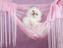 Gatinho consideravelmente bonito de Ragdoll no hammock cor-de-rosa Imagens de Stock