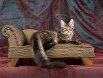 Gatinho consideravelmente preto do Coon de Maine do tabby no sofá Imagens de Stock