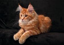 Gatinho contínuo vermelho bonito do racum de maine que encontra-se na tampa com b bonito Foto de Stock