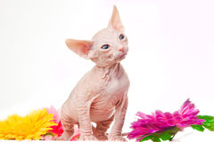 Gatinho cor-de-rosa do sphinx no branco Fotografia de Stock