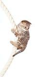 Gatinho da dobra do Scottish que escala na corda Fotografia de Stock Royalty Free
