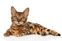 Gatinho de Bengal no fundo branco Fotografia de Stock