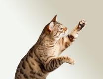 Gatinho de Bengal que estica suas garras Imagem de Stock Royalty Free