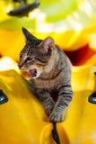 Gatinho de bocejo do gato malhado que encontra-se em um caiaque de Thassos Imagem de Stock