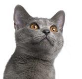 Gatinho de Chartreux, 5 meses velho Foto de Stock