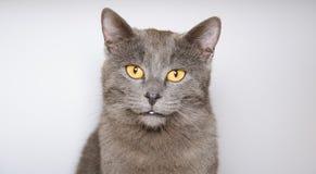 Gatinho de Chartreux isolado no fundo branco Fotografia de Stock