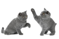Gatinho de dois Ingleses no fundo branco Foto de Stock