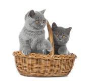 Gatinho de dois Ingleses no fundo branco Imagem de Stock Royalty Free