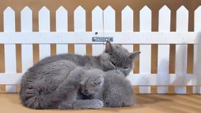 Gatinho de Ingleses Shorthair e gato da mãe perto de uma cerca filme