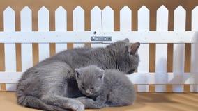 Gatinho de Ingleses Shorthair e gato da mãe perto de uma cerca vídeos de arquivo