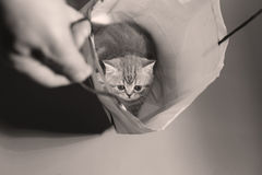 Gatinho de Ingleses Shorthair em um saco Foto de Stock