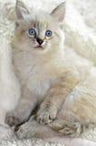 Gatinho de olhos azuis bonito Imagem de Stock Royalty Free
