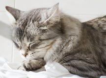 Gatinho de prata bonito exterior, fêmea siberian do gato foto de stock royalty free