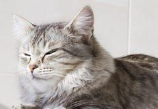 Gatinho de prata bonito exterior, fêmea siberian do gato fotografia de stock