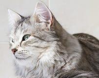 Gatinho de prata bonito exterior, fêmea siberian do gato imagem de stock