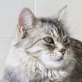 Gatinho de prata bonito exterior, fêmea siberian do gato imagens de stock