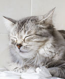 Gatinho de prata bonito exterior, fêmea siberian do gato fotos de stock royalty free