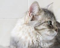 Gatinho de prata bonito exterior, fêmea siberian do gato imagens de stock royalty free