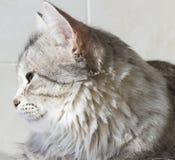 Gatinho de prata bonito exterior, fêmea siberian do gato foto de stock