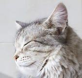 Gatinho de prata bonito exterior, fêmea siberian do gato fotografia de stock royalty free