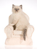 Gatinho de Ragdoll do ponto azul na cadeira de creme fotografia de stock