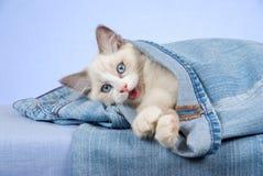 Gatinho de Ragdoll em calças da sarja de Nimes de calças de ganga Fotos de Stock Royalty Free