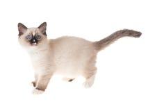 Gatinho de Ragdoll isolado no branco Fotografia de Stock Royalty Free