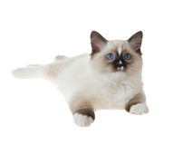 Gatinho de Ragdoll isolado no branco Foto de Stock Royalty Free