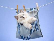 Gatinho de Ragdoll no saco do Peg na linha de lavagem Imagens de Stock