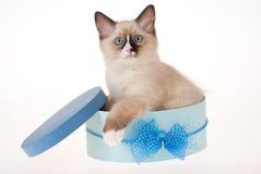 Gatinho de Ragdoll que senta-se na caixa azul Fotografia de Stock Royalty Free