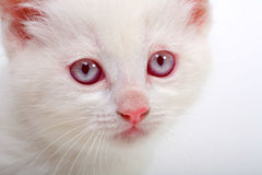 Gatinho do albino Fotos de Stock Royalty Free