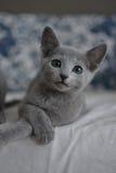 Gatinho do azul do russo Fotografia de Stock Royalty Free