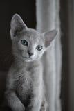 Gatinho do azul do russo Fotografia de Stock