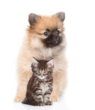 Gatinho do cachorrinho do Spitz e do racum de maine que senta-se junto Isolado no branco Fotos de Stock Royalty Free