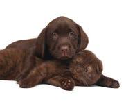 Gatinho do chocolate e filhote de cachorro do chocolate. Imagem de Stock Royalty Free