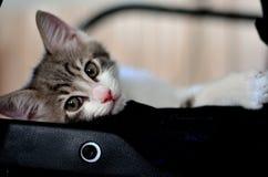 Gatinho do gato Imagens de Stock Royalty Free