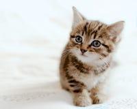 Gatinho do gato malhado Fotos de Stock