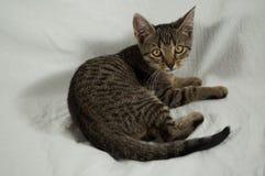 Gatinho do gato malhado Imagem de Stock Royalty Free