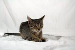 Gatinho do gato malhado Imagens de Stock Royalty Free