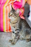 Gatinho do gato malhado de Thassos Foto de Stock Royalty Free