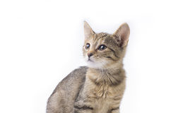 Gatinho do gato malhado isolado Fotos de Stock