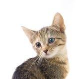 Gatinho do gato malhado isolado Imagens de Stock Royalty Free
