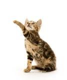 Gatinho do gato malhado no branco Imagem de Stock