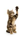 Gatinho do gato malhado no branco Foto de Stock