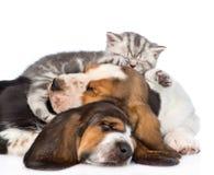 Gatinho do gato malhado que dorme no cão de basset dos cachorrinhos Isolado no branco Fotos de Stock Royalty Free