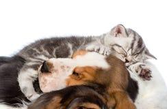 Gatinho do gato malhado que dorme no cão de basset dos cachorrinhos Isolado no branco Imagens de Stock Royalty Free
